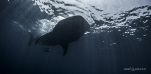 WhaleShark above me near Isla Mujeres    They are so grac... by Ken Kiefer